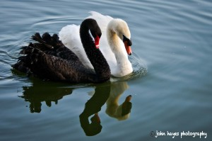 swans_d3x0783-as-smart-object-1