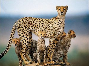 Cheetah family wildlife animal protection animal rescue of endangered species of africa beautiful amazing cheetah hunting pictures